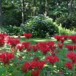 June garden jacob astor monarda