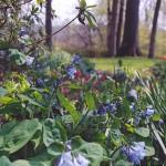 May gardens Virginia bluebell
