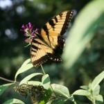Garden Monarch butterfly